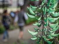 Strongylodon macrobotrys, commonly known as Jade Vine
