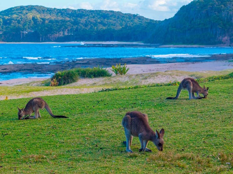 Pebbly Beach Kangaroos