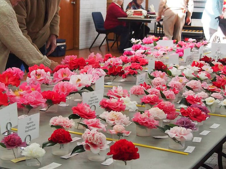 Image of the event 'Annual Camellia Show'