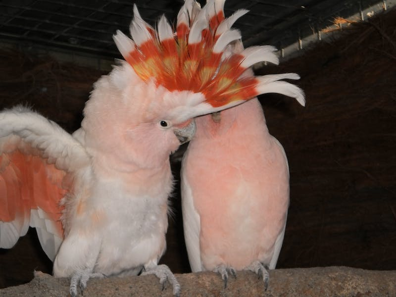 These two parrots are an item.