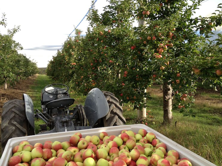 Picking fresh apples at Glenbernie Orchard