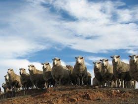 Annual Bredbo Sheep Dog Trials