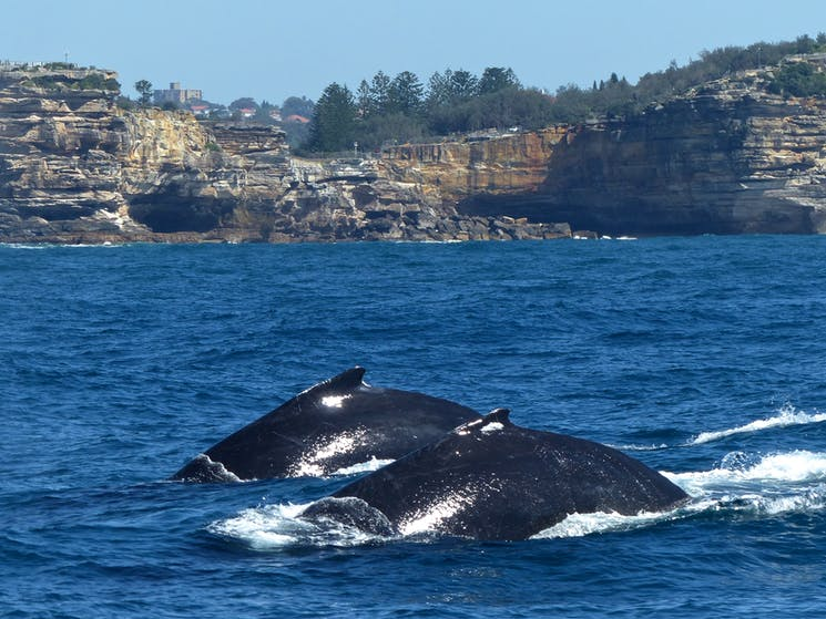 Humpback whales migrating past the gap