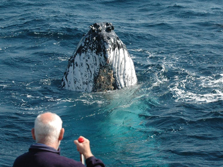 whale spy hopping looking at us only metres from the boat