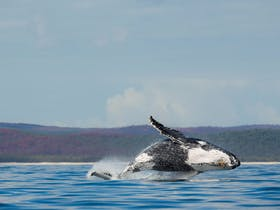 Breaching Whale, Hervey Bay, Queensland.