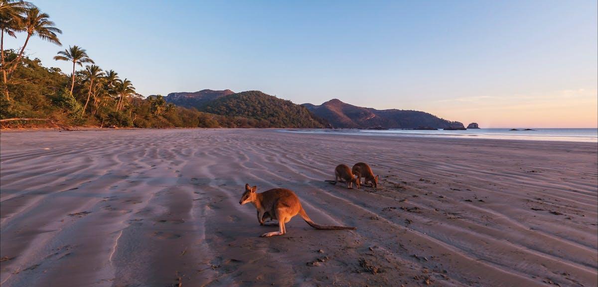 Wallabies on beach