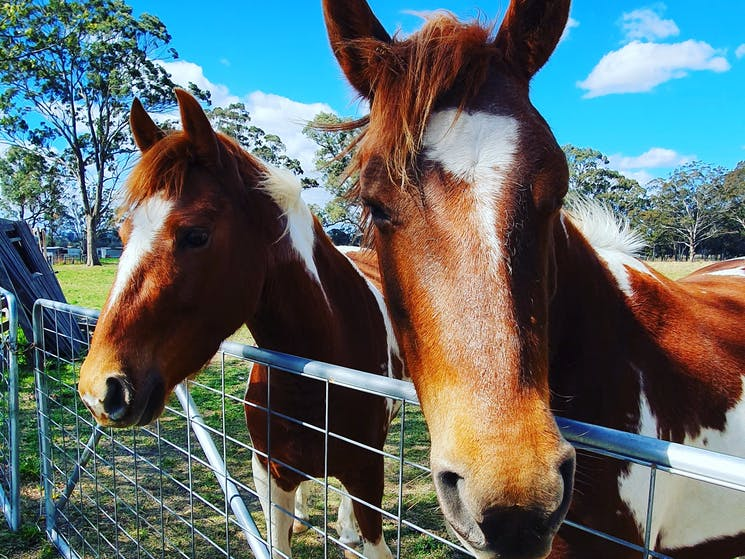 Guy Fawkes Heritage Horses