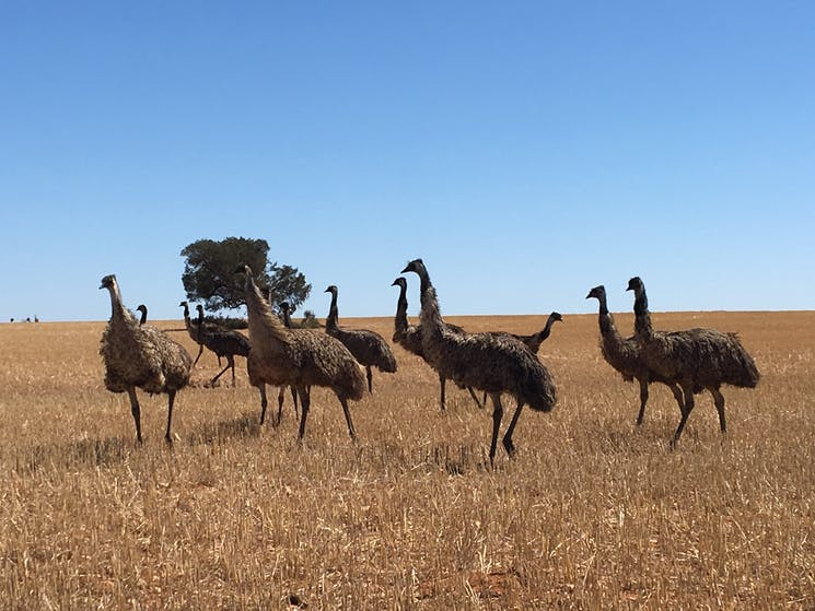Emus up close and Personal