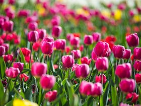 A sea of pink and yellow tulips.