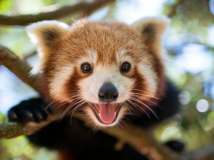 You can get behind-the-scenes for a red panda experience daily at Symbio