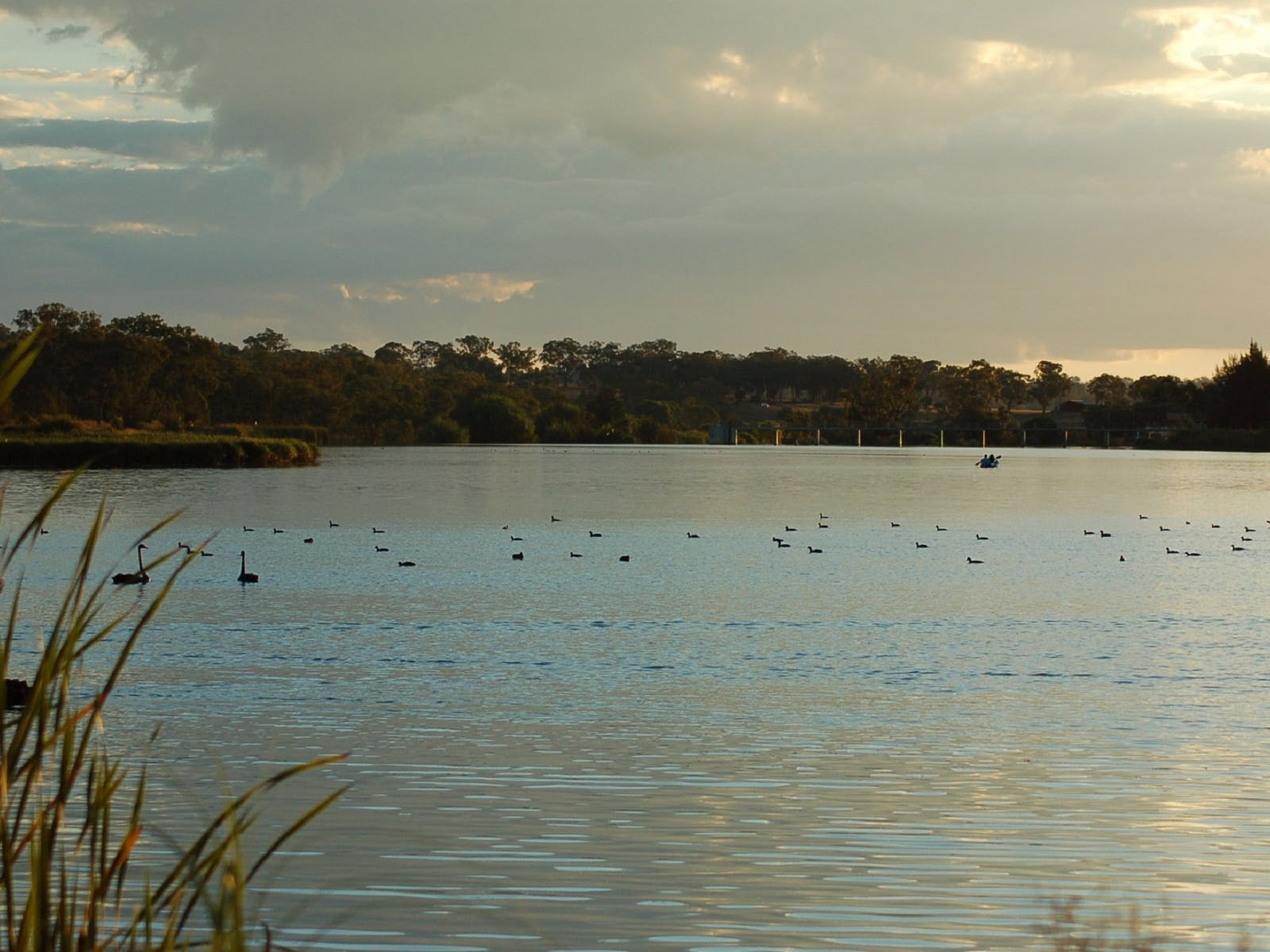 Group of Black Swans with Kayakers behind them on Lake Inverell