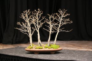 The Hastings Bonsai Group Exhibition