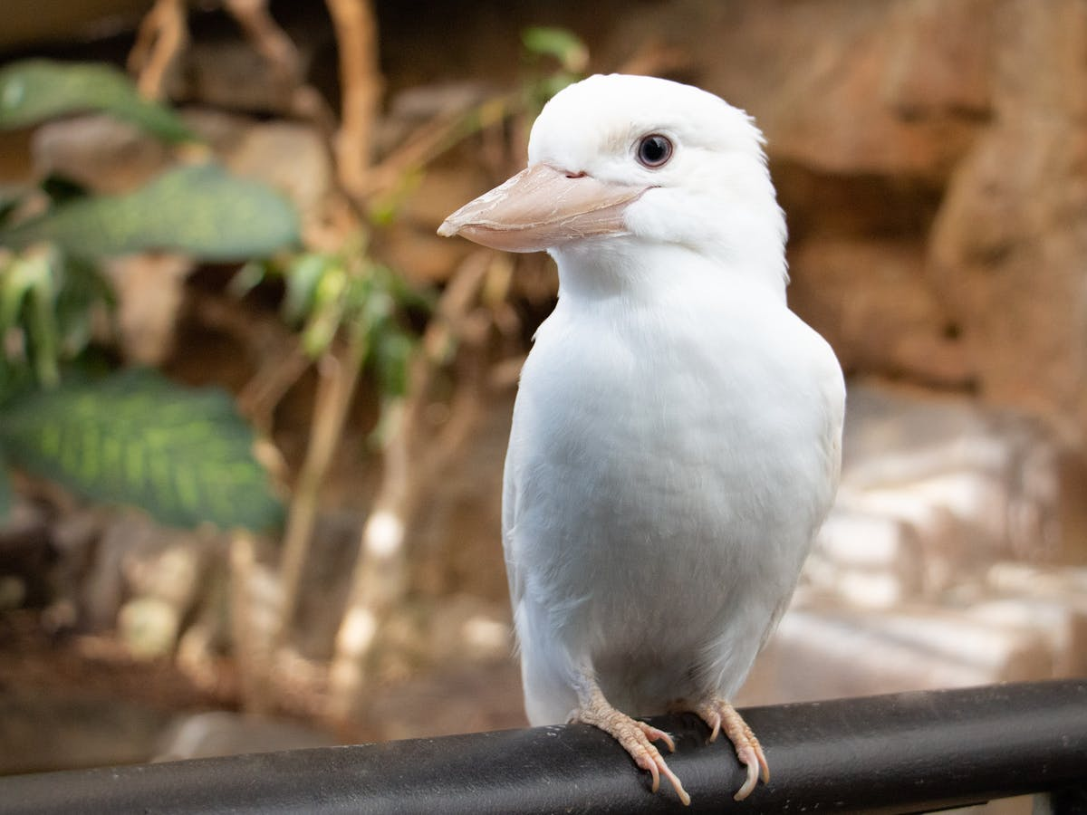 white kookaburra at cairns zoom and wildlife dome