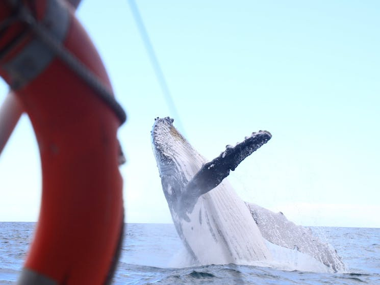 Breaching Humpback Whale with boat in foreground