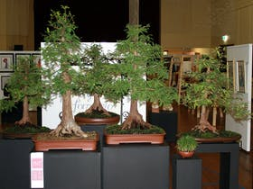 Sakura Bonsai Gallery - Dorrigo