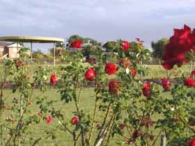 A bush of red roses over looking the gardens